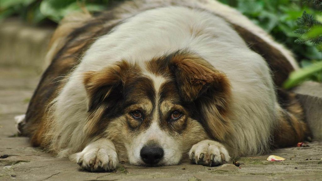 Obesity in dogs How to detect and treat it easily -Doggies in Town - 1024x576