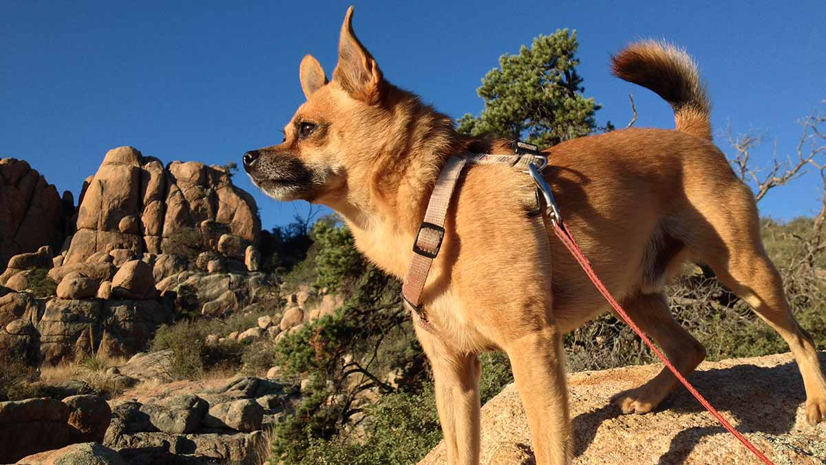 Doggies in Town - article - What distance can you walk with your dog_ 1200 x 675