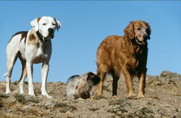 Homeward Bound The Incredible Journey - Top Dog Movies - Doggies in Town