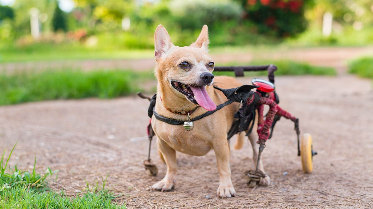 How a Dog Wheelchair Can Help Your Dog - Article - Doggies in Town