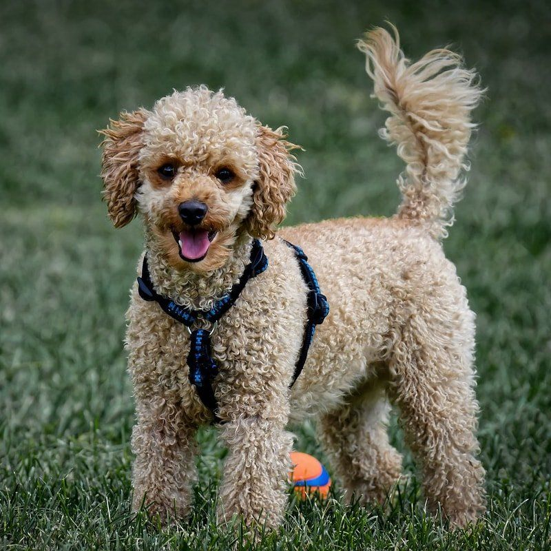 Labradoodle-How-Poodles-Service-Dogs-Can-Help-People-With-Disabilities-Doggies-in-Town