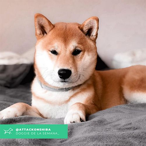 @Attackonshiba - Doggie of the week - Blog - Doggies in Town