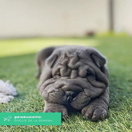 @Bimbaminipei - Doggie of the week - Blog - Doggies in Town