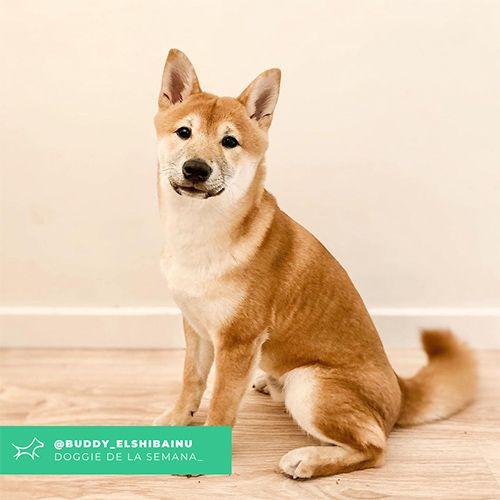 @Buddy_elshibainu - Doggie of the week - Blog - Doggies in Town