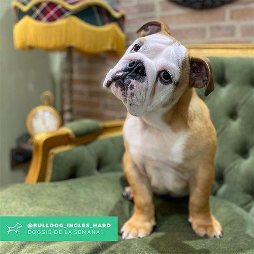 @Bulldog_ingles_hard - Doggie of the week - Blog - Doggies in Town