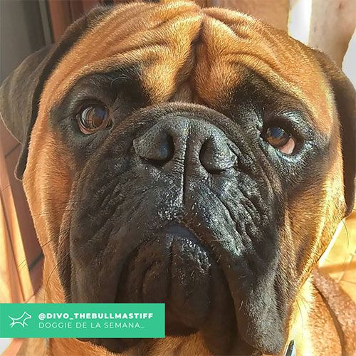 @Divo_thebullmastiff - Doggie of the week - Blog - Doggies in Town