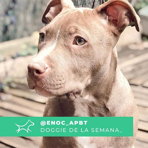@Enoc_apbt - Doggie of the week - Blog - Doggies in Town