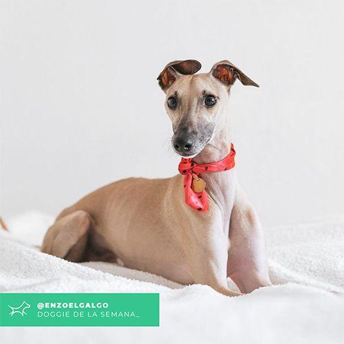 @Enzoelgalgo - Doggie of the week - Blog - Doggies in Town