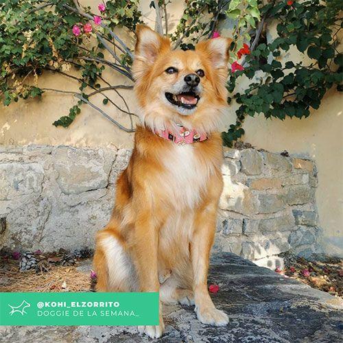 @Kohi_elzorrito - Doggie of the week - Blog - Doggies in Town