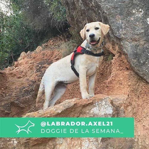 @Labrador_axel21 - Doggie of the week - Blog - Doggies in Town