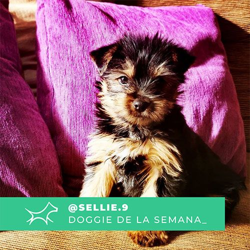 @Sellie.9 - Doggie of the week - Blog - Doggies in Town
