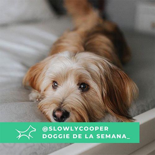 @Slowlycooper - Doggie of the week - Blog - Doggies in Town