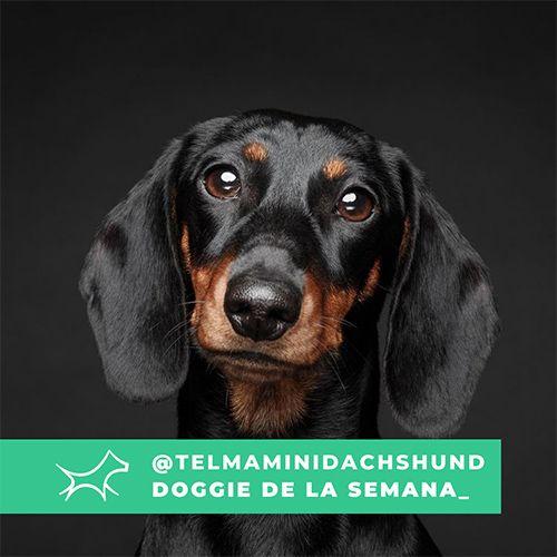 @Telmaminidachshund - Doggie of the week - Blog - Doggies in Town