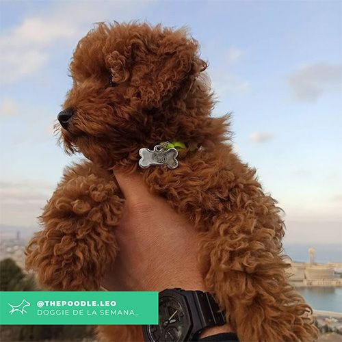 @Thepoodle.leo - Doggie of the week - Blog - Doggies in Town